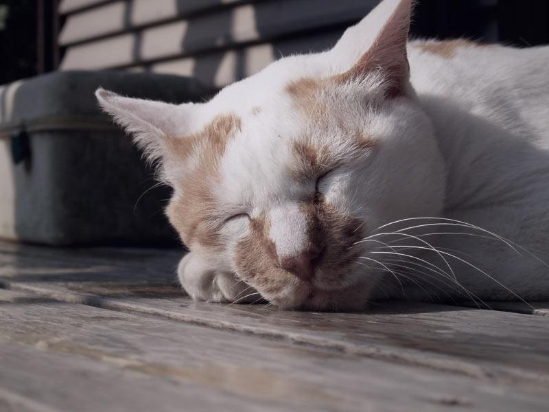 razas de gatos en petyzoo