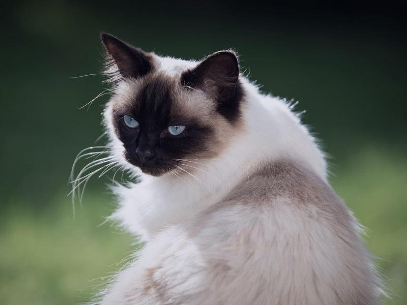 tipos de gatos en petyzoo