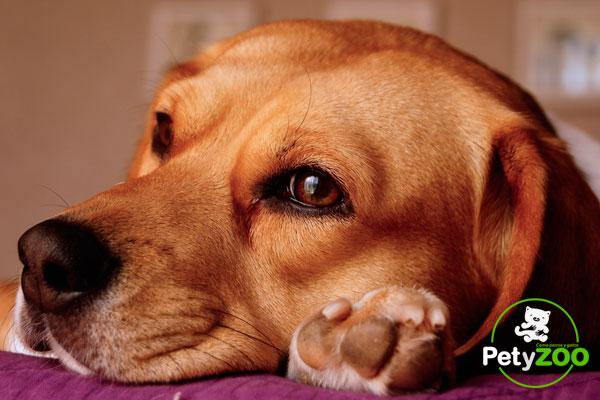 adiestrar-perro-beagle-en-petyzoo