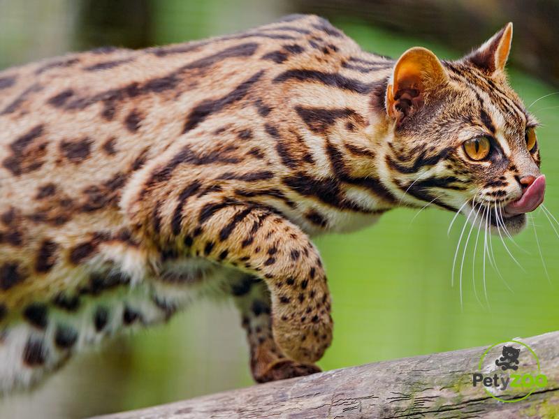gato bengala asiático - petyzoo