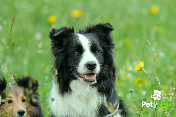border-collie-socializacion-raza
