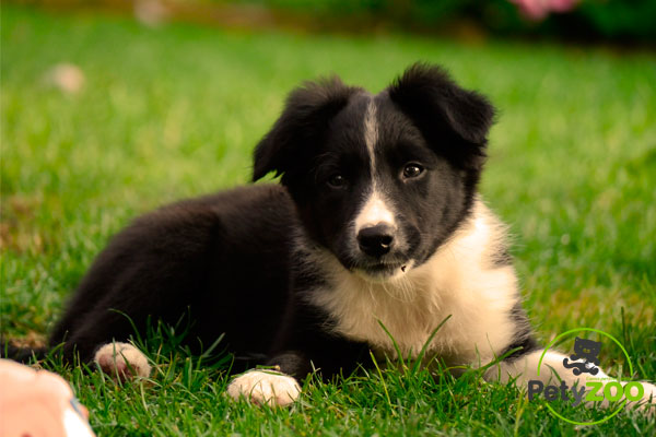 cachorro-border-collie-petyzoo