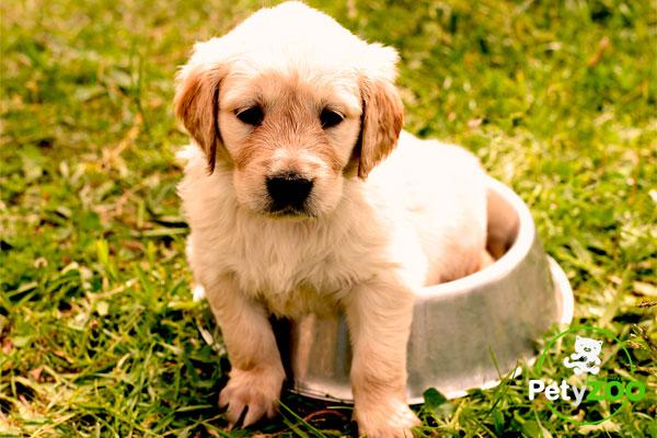 cachorro-golden-retriver-petyzoo