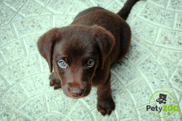 cachorro-labrador-retriever-petyzoo