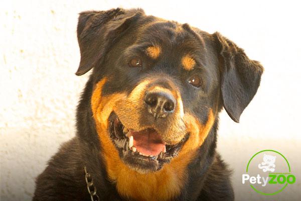 cachorro-rottweiler-petyzoo