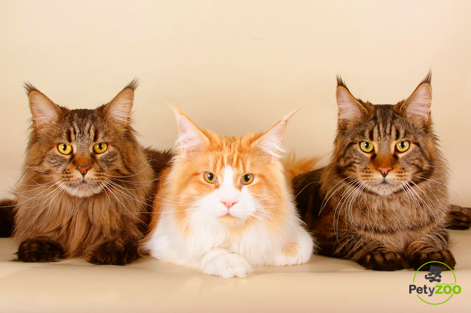 maine coons - petyzoo