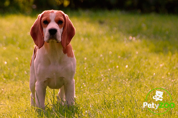 como-pasear-perro-beagle