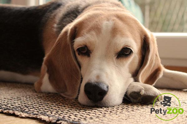 consejos-beagle-casa-petyzoo