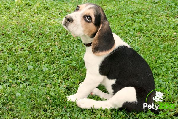 cuidado-cachorro-beagle-mascota-petyzoo.com
