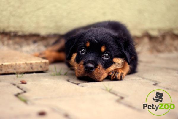 alimentar correctamente a un Rottweiler