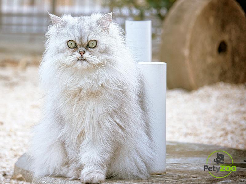 gato-persa-blanco-petyzoo