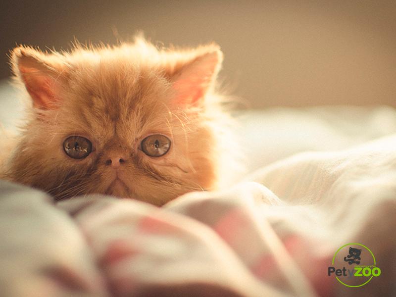 gato-persa-petyzoo