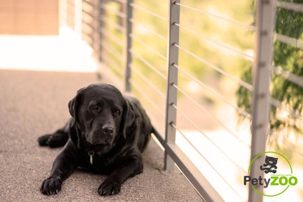 informacion-perros-labradores-petyzoo.es