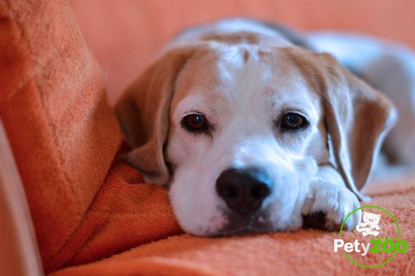perro-beagle-como-cuidarlo