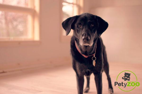 perro-labrador-casa-petyzoo