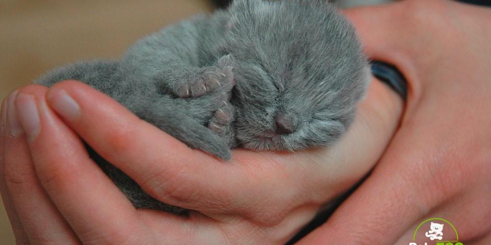 cuidar-gatitos-recien-nacidos-petyzoo