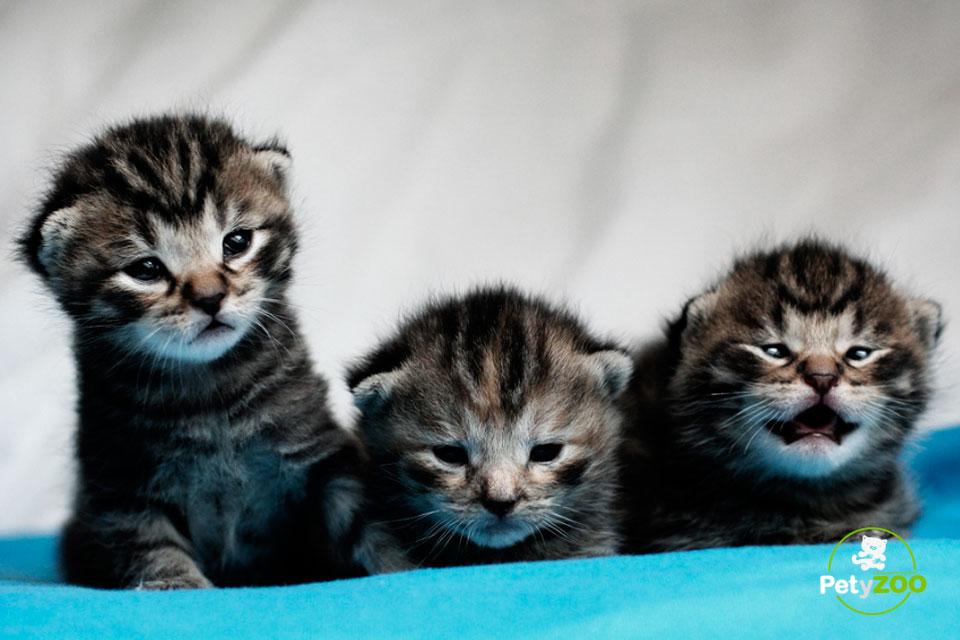 gatitos-bebe-petyzoo1