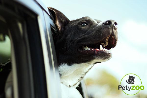 perro-como-viajar-coche-petyzoo