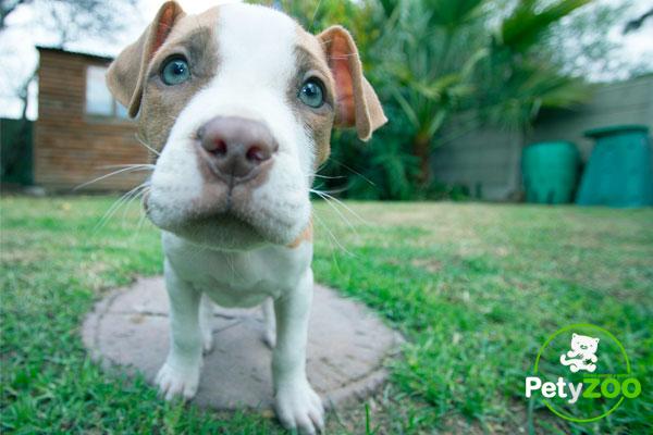 razas-perros-peligrosos