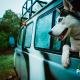 petyzoo-viajar-perros-coche-huski