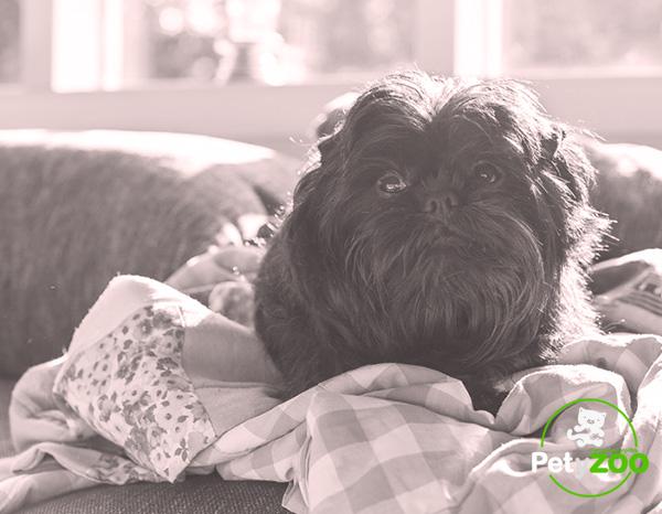 AFFENPINSCHER-raza-perro