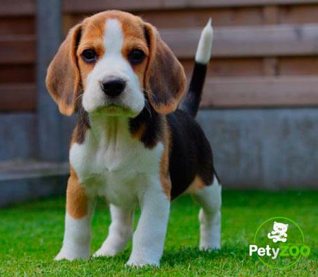 beagle-can-tipos-consejos