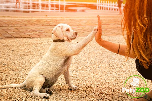 blog-petyzoo-perros-razas-inteligentes