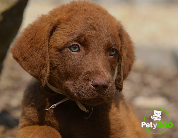 foto-razas-petyzoo-mini-chesapeake