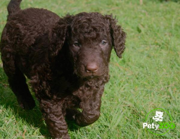 foto-razas-petyzoo-pequeño-curly