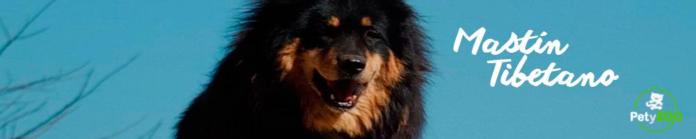 mastin-tibetano-raza-cachorros-cuidados