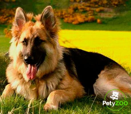 perro-aleman-adiestramiento-vacunas