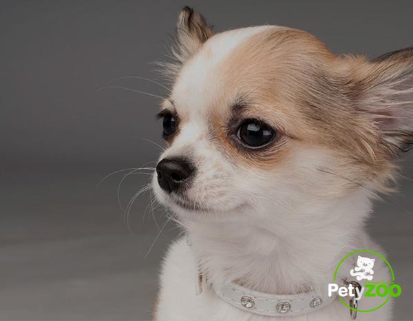 chihuahua-raza-perro