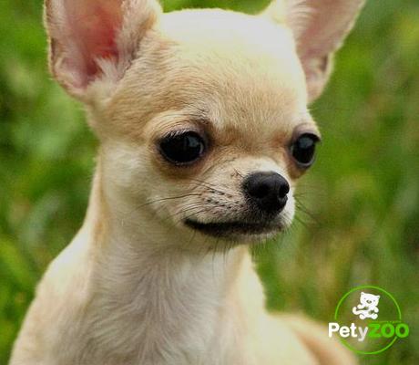 razas-perros-chihuhua