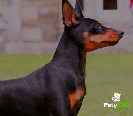 perro-pinscher