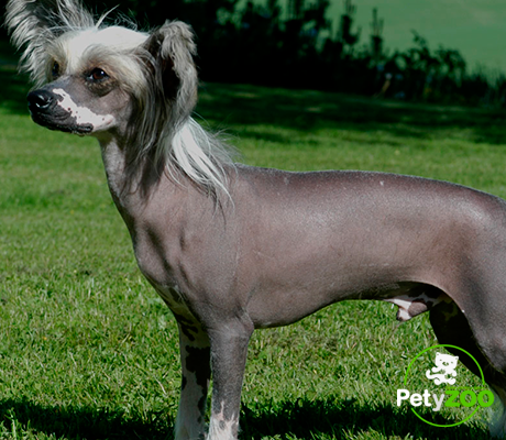 perro-raza-crestado-chino