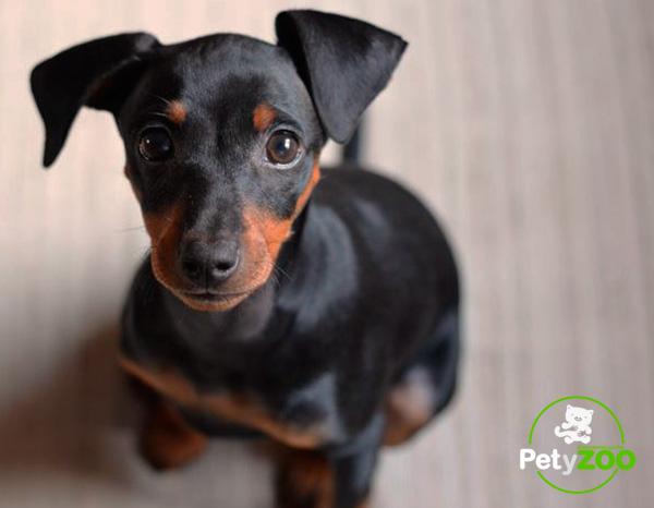 pinscher-perro-raza