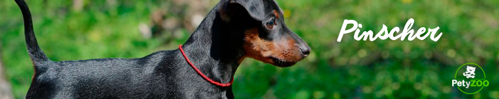 razas-perro-pinscher-pequeno