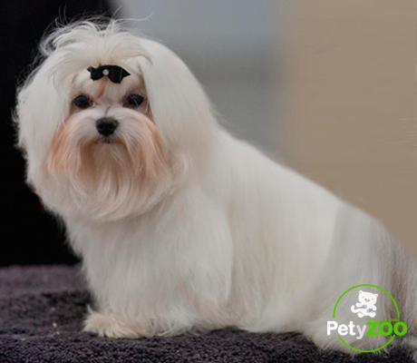 razas de perros bichon maltes