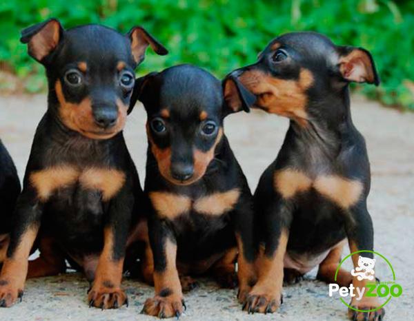 razas-perros-pinscher