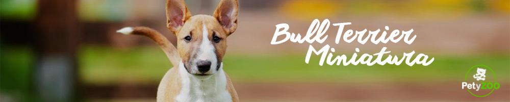 bull-terrier-miniatura-cuidados-2