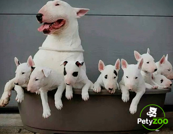 bull-terrieres-cachorros-3