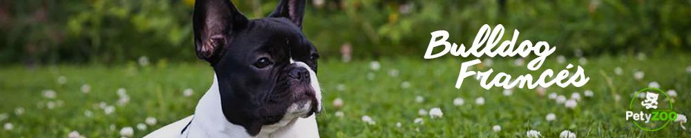 bulldog-perro-cuidados-3