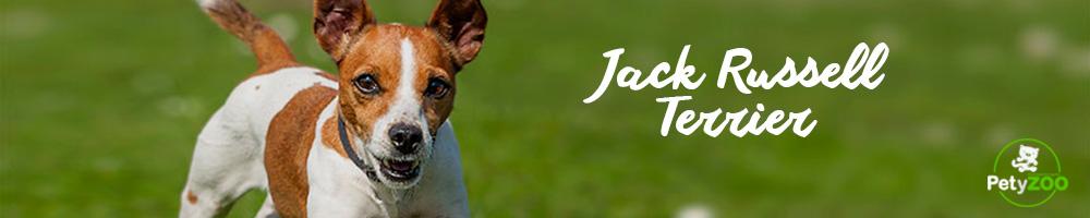 jack-russell-terrier-cuidados-higiene-3