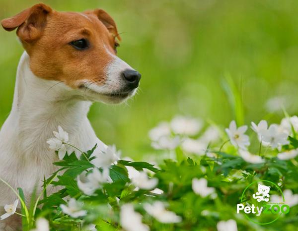 jack-russell-terrier-cuidados-todo-raza-4