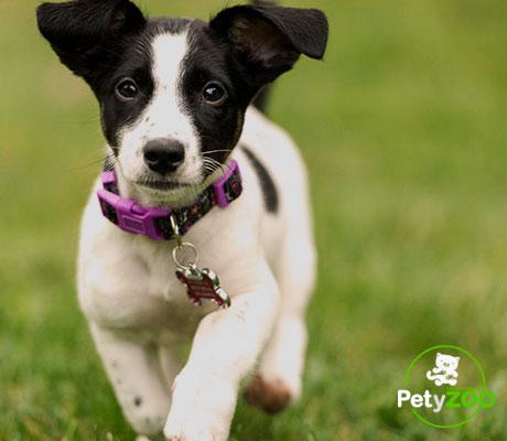 jack-russell-terrier-razas-1