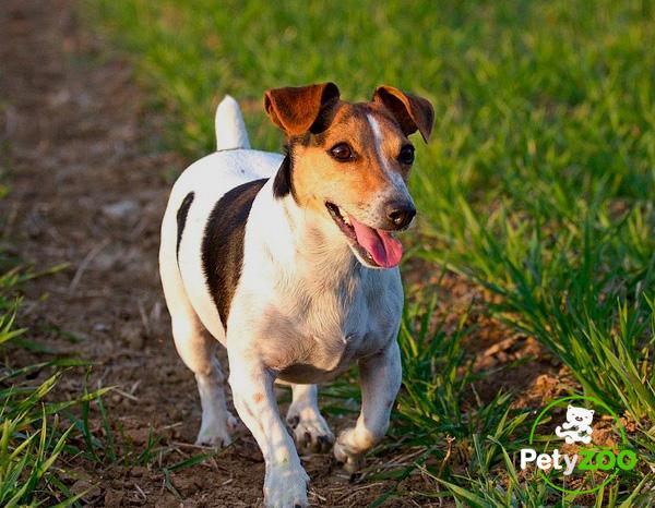 jack-russell-terrier-razas-perros-2