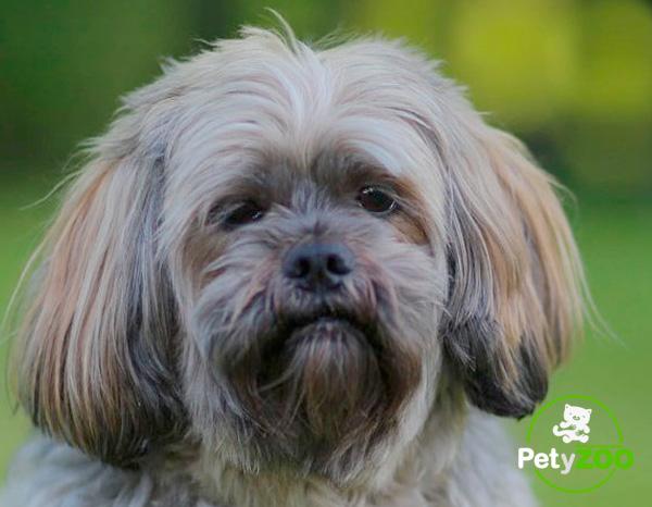 lhasa-apso-consejos-razas-perro
