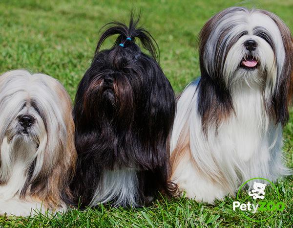 lhasa-apso-perros