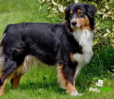 pastor-australiano-miniatura-perros