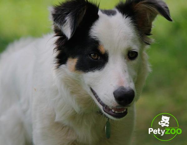 pastor-australiano-perros-consejos-higiene
